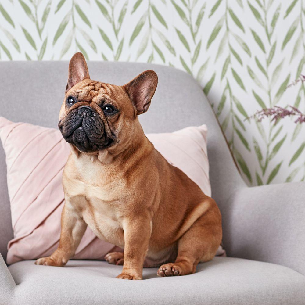 French Bulldog Full Profile History
