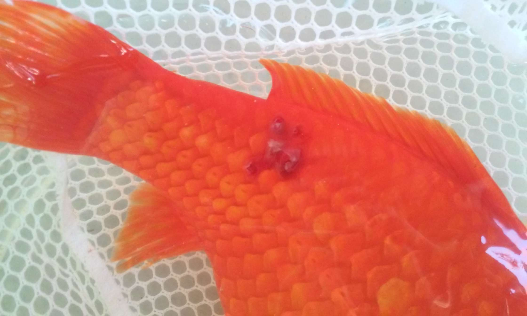 Fish with bruising from parasite infestation