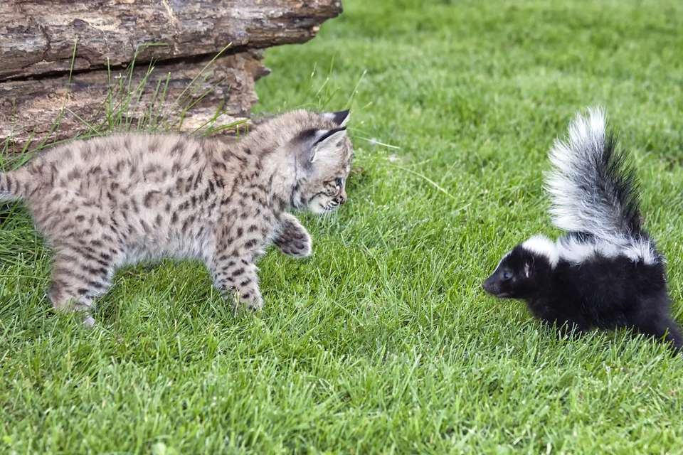 cat next to a skunk