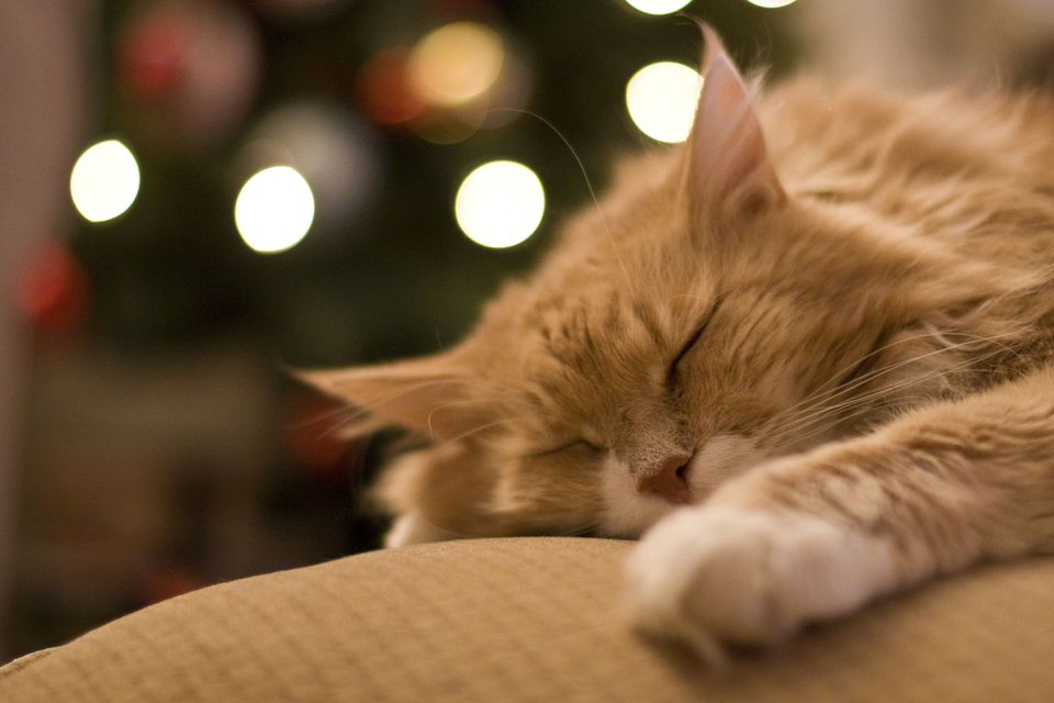 Cat sleeping in front of Christmas tree