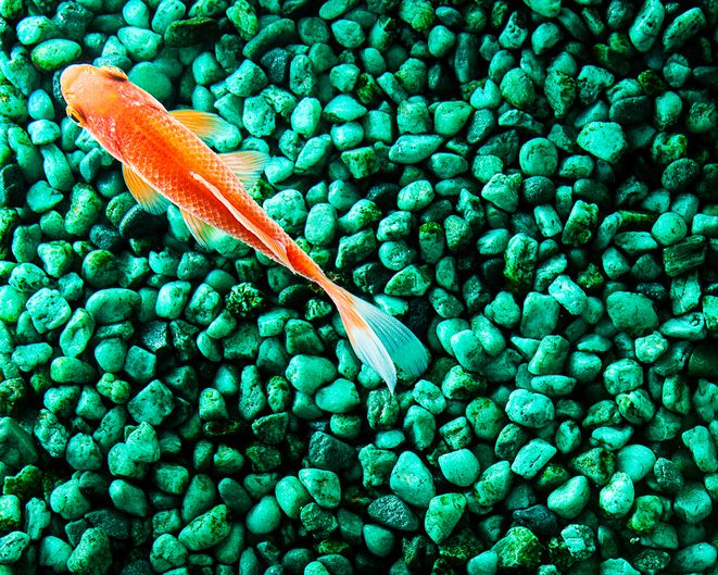 Goldfish in a fish tank with green gravel