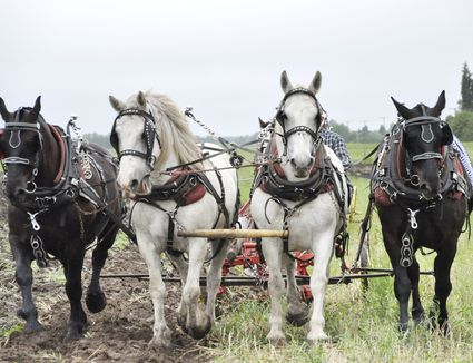 Draft Horse Team Working the Field