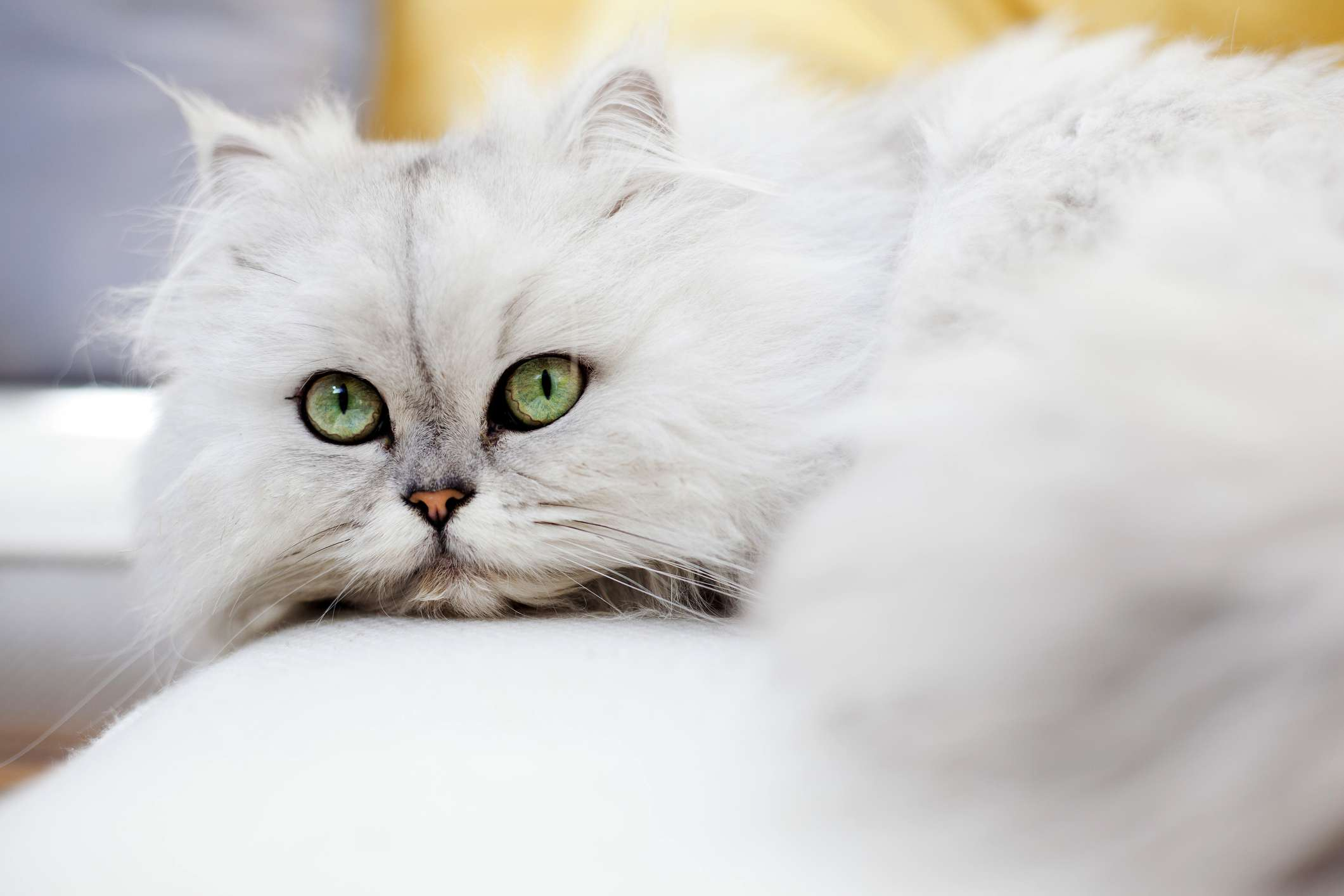 Gato persa con ojos verdes grandes