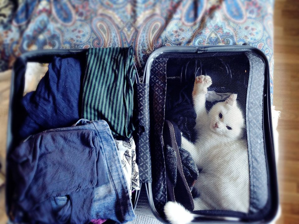White cat in suitcase