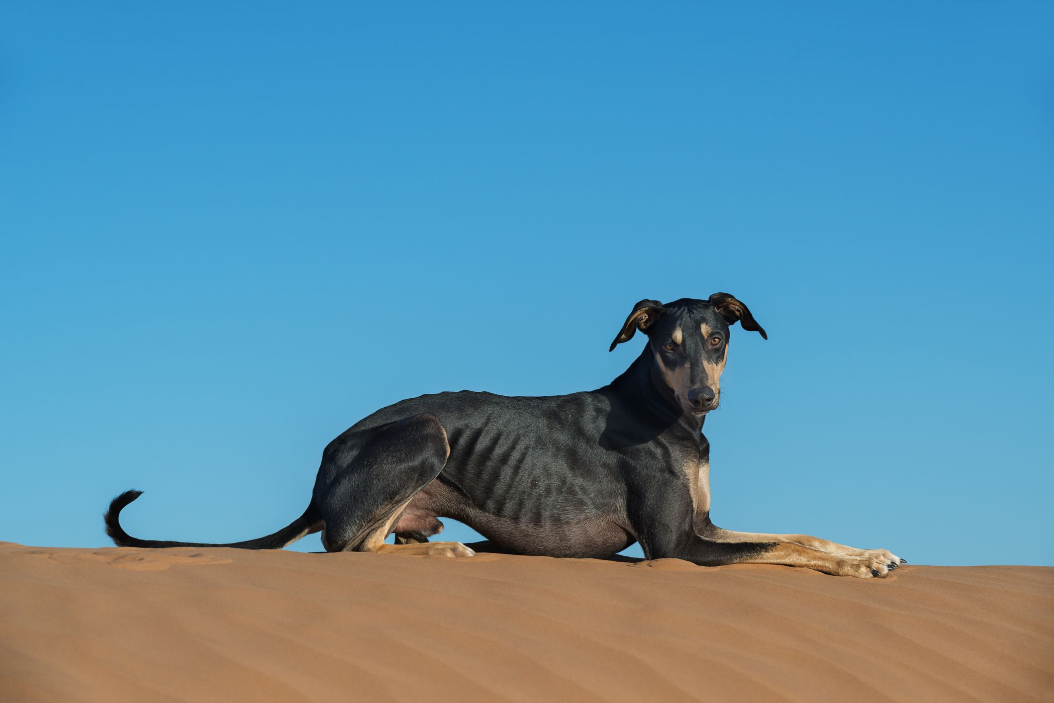 Black Sloughi laying down on top of sand dune.