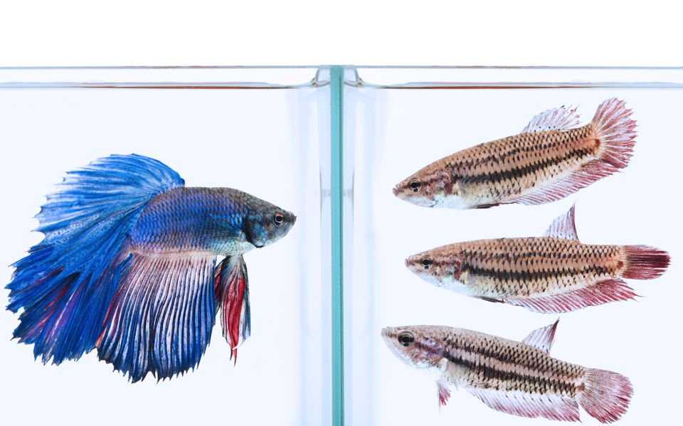 blue male and three female siamese fighting fish