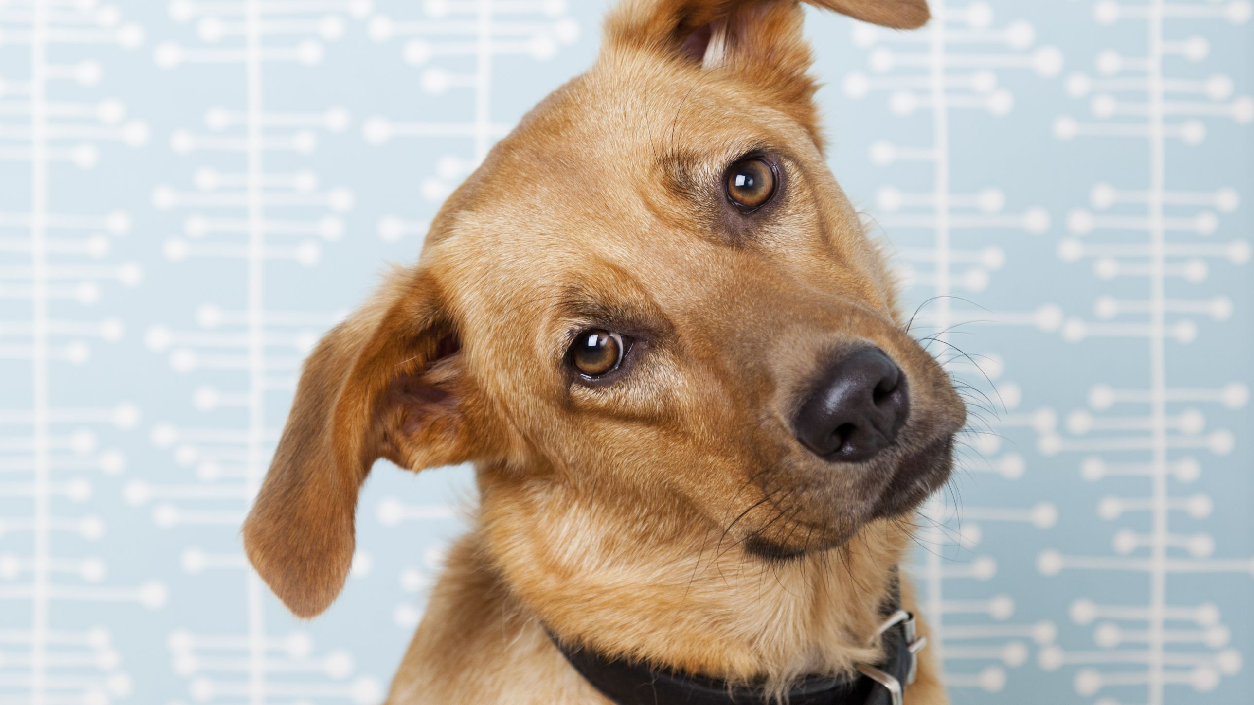 How to Treat Ear Infections in Dogs