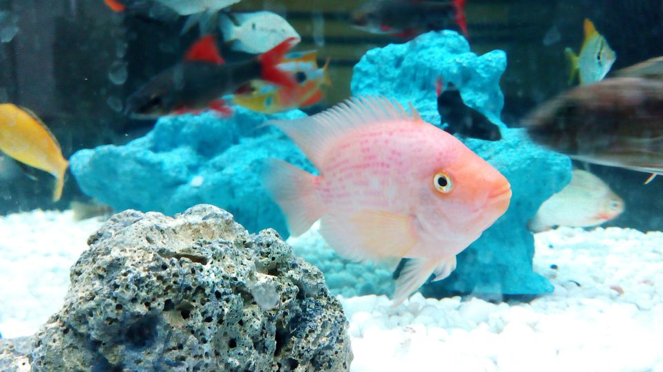 fish in a home aquarium