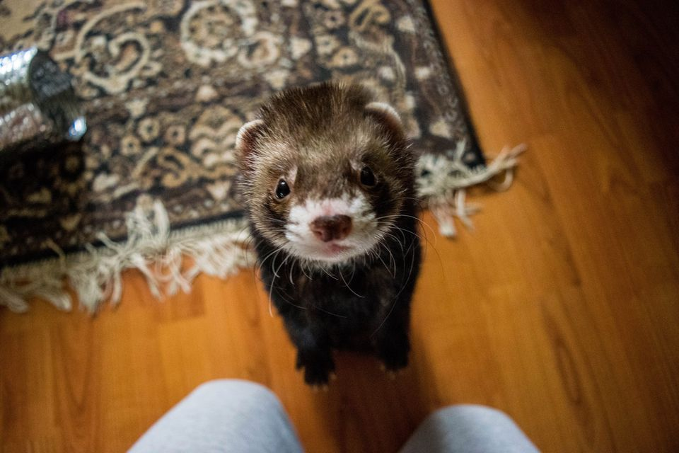Ferret close-up