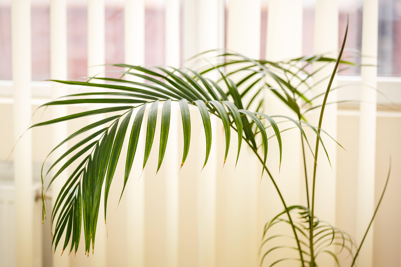 Primer plano de una planta de palma verde areca palma sobre un fondo blanco