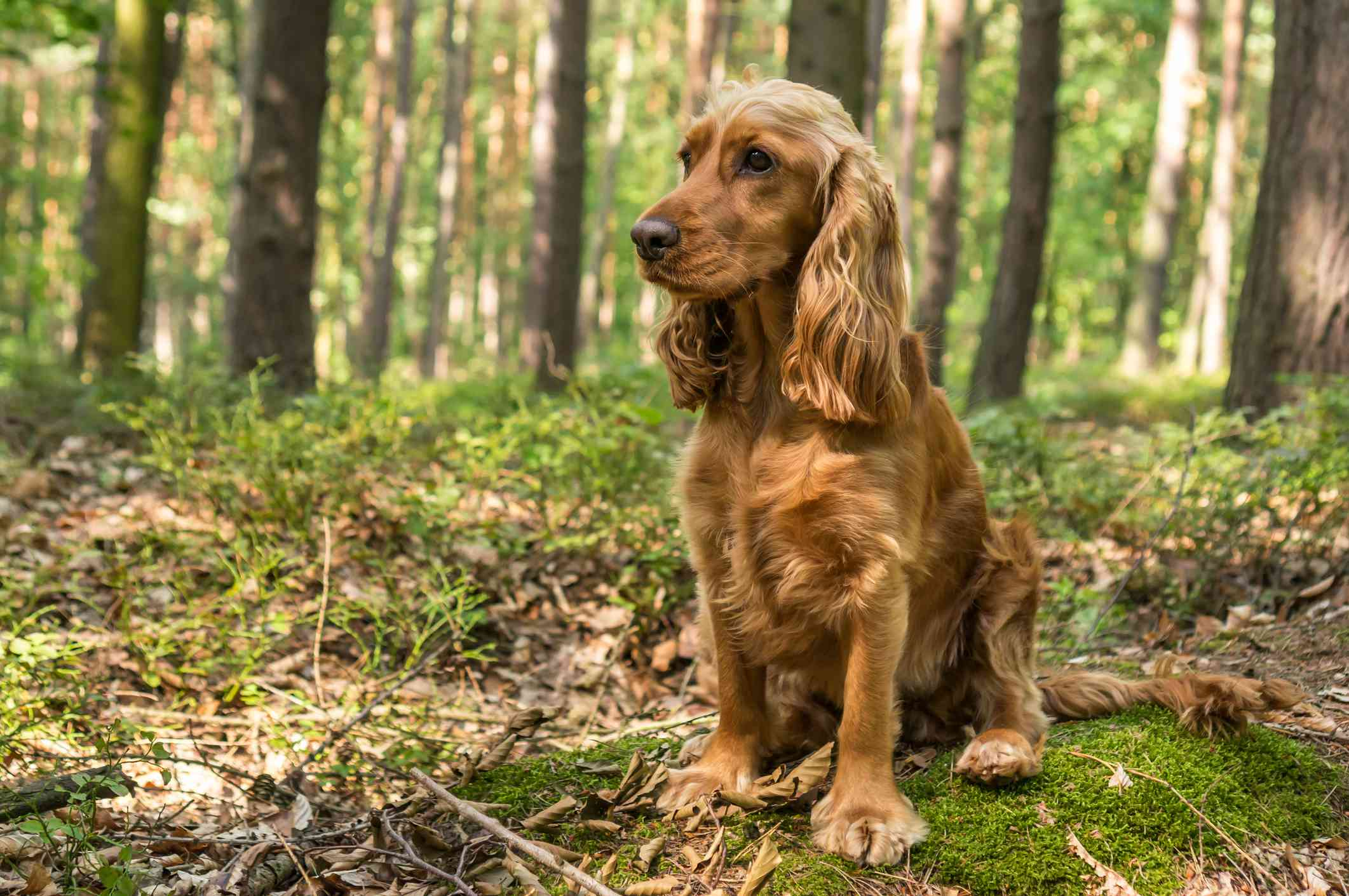 English Cocker Spaniel sitting in a forest
