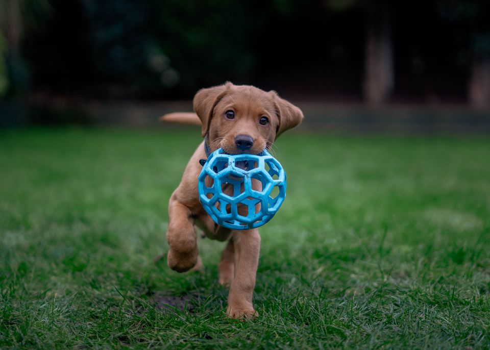 Puppy in grass holding blue ball