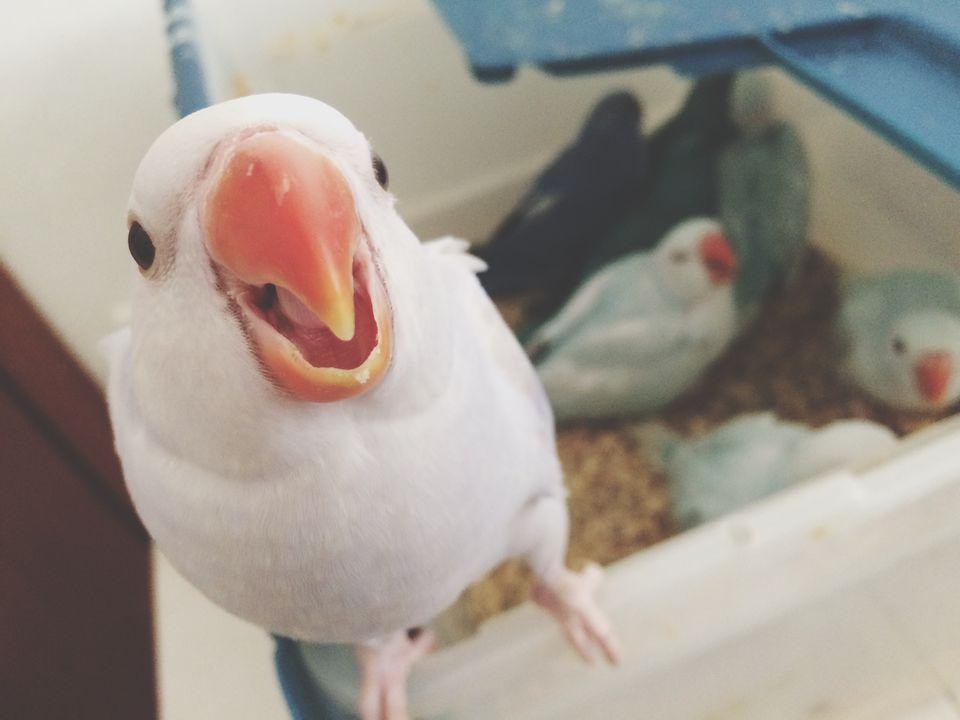 Retrato de loro parlante con pico naranja pájaros en caja de plástico en segundo plano.