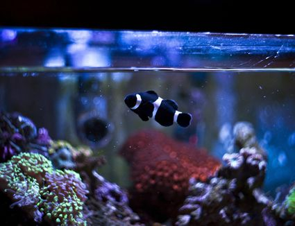 Black and White Striped Fish in Fish Tank