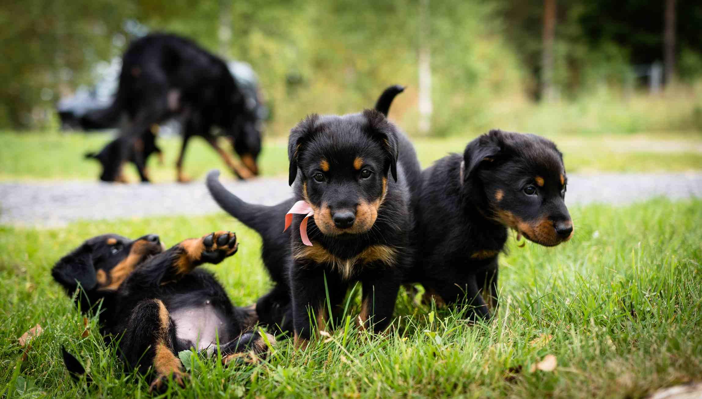 Beauceron puppies