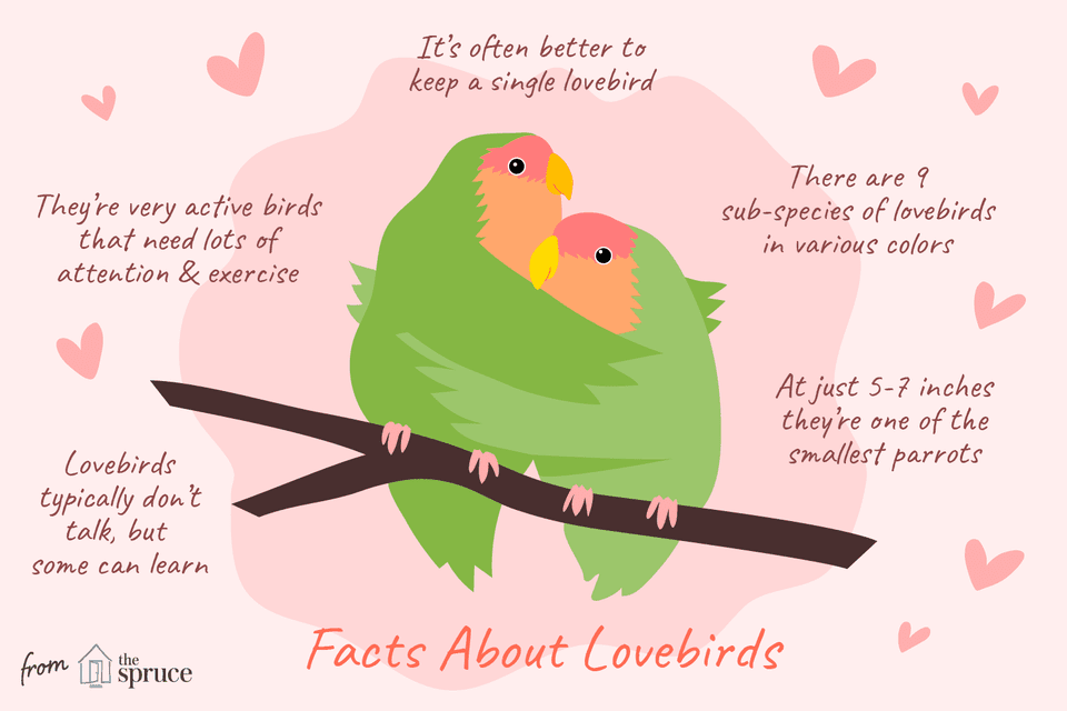 Illustrated facts about lovebirds.