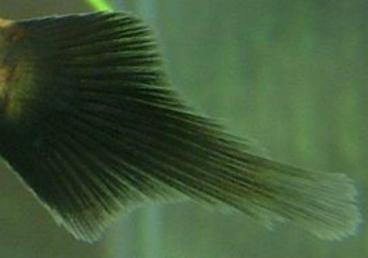 Pintail variation