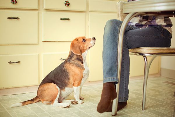 Begging beagle at the dinner table