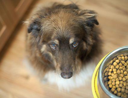 dog looking up at food bowl