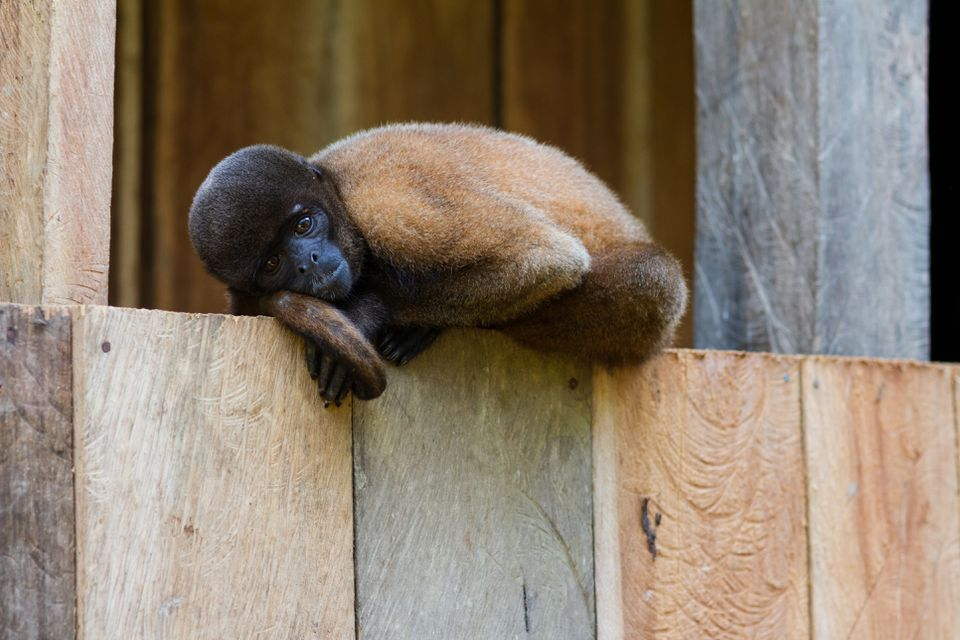 Common woolly monkeys