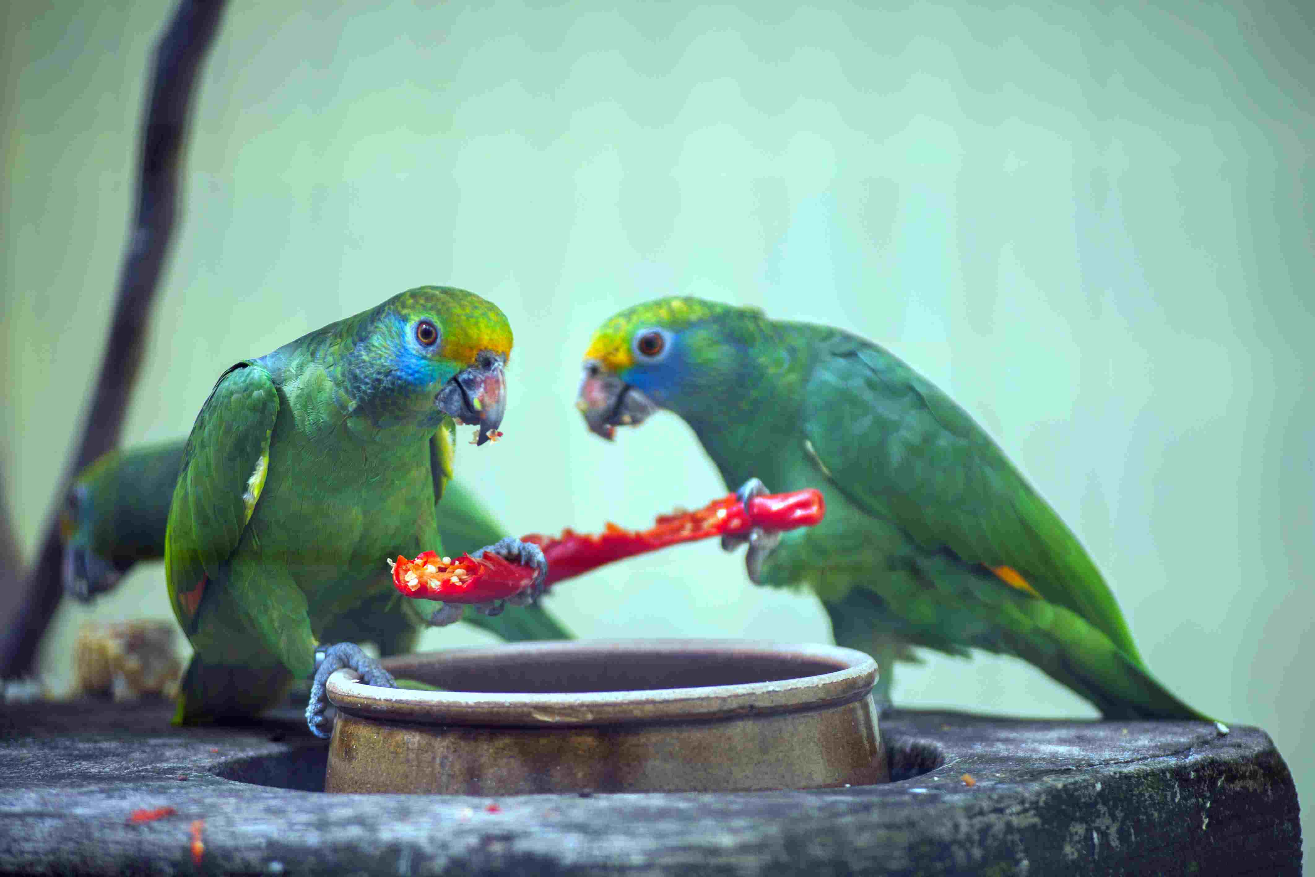 Parrots eating a chili pepper in cage