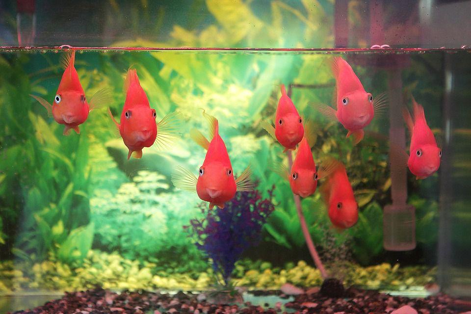 pink aquarium fish