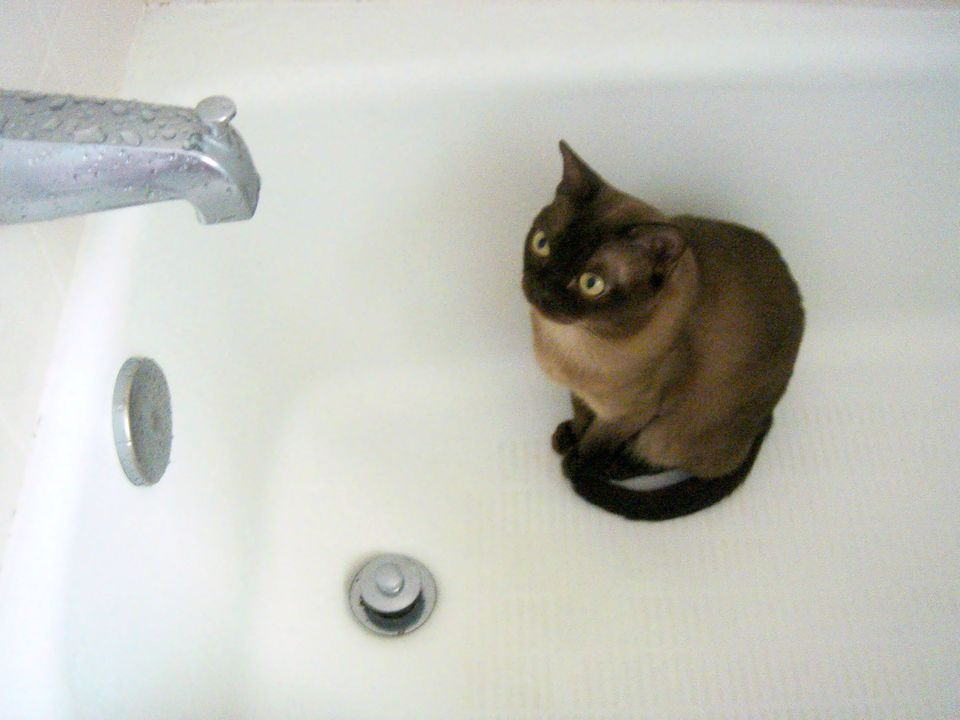 Siamese in a bath tub.
