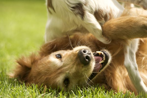 Golden retriever playing with another pet dog