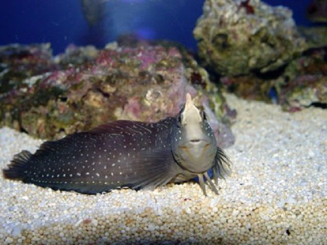 Blenny de pavo real (Blennius Pavo)