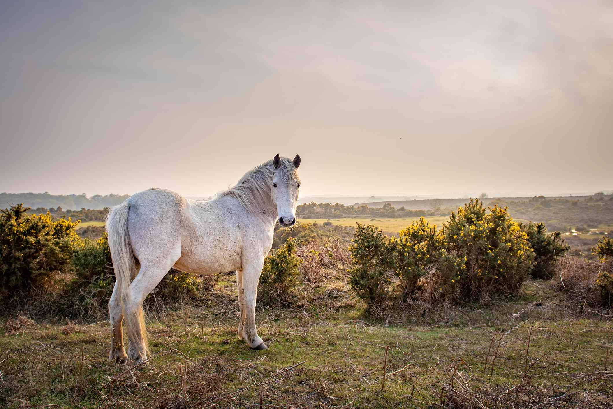 New Forest Pony, Brockenhurst, Hampshire, UK.