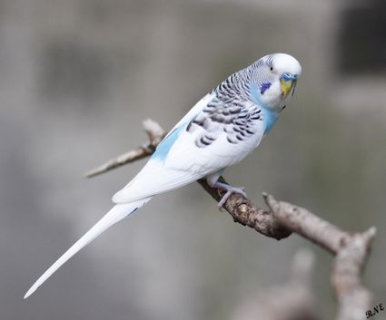 White and blue parakeet perched on a branch