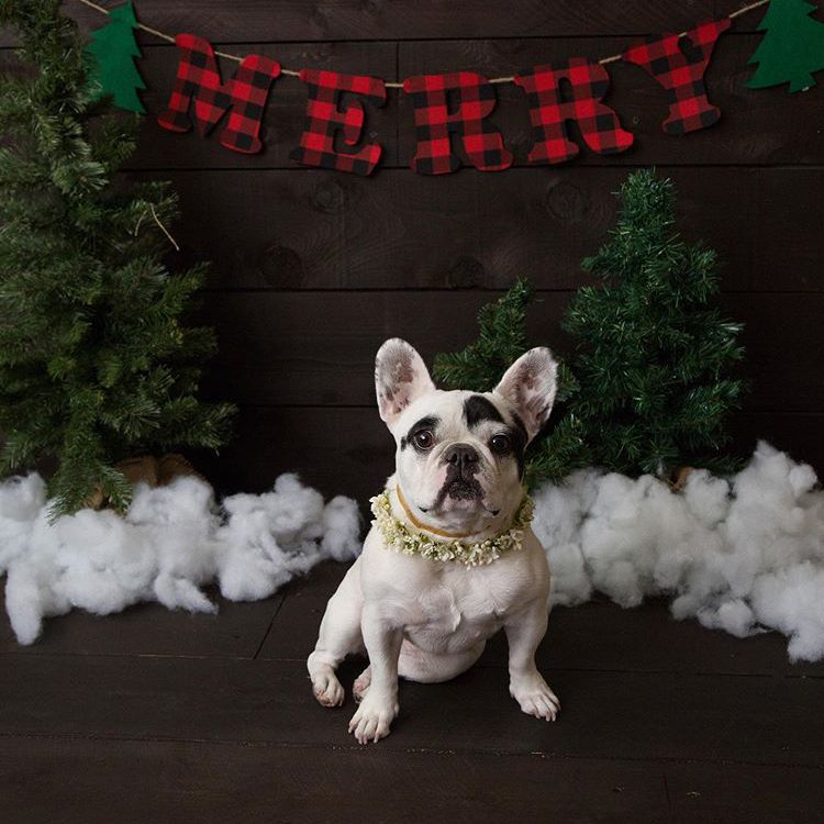 A white Frenchie with black markings posing in front of a scene of fake snow and trees and a banner that spells