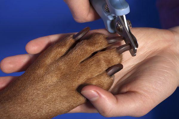 Dog nail trim up close.