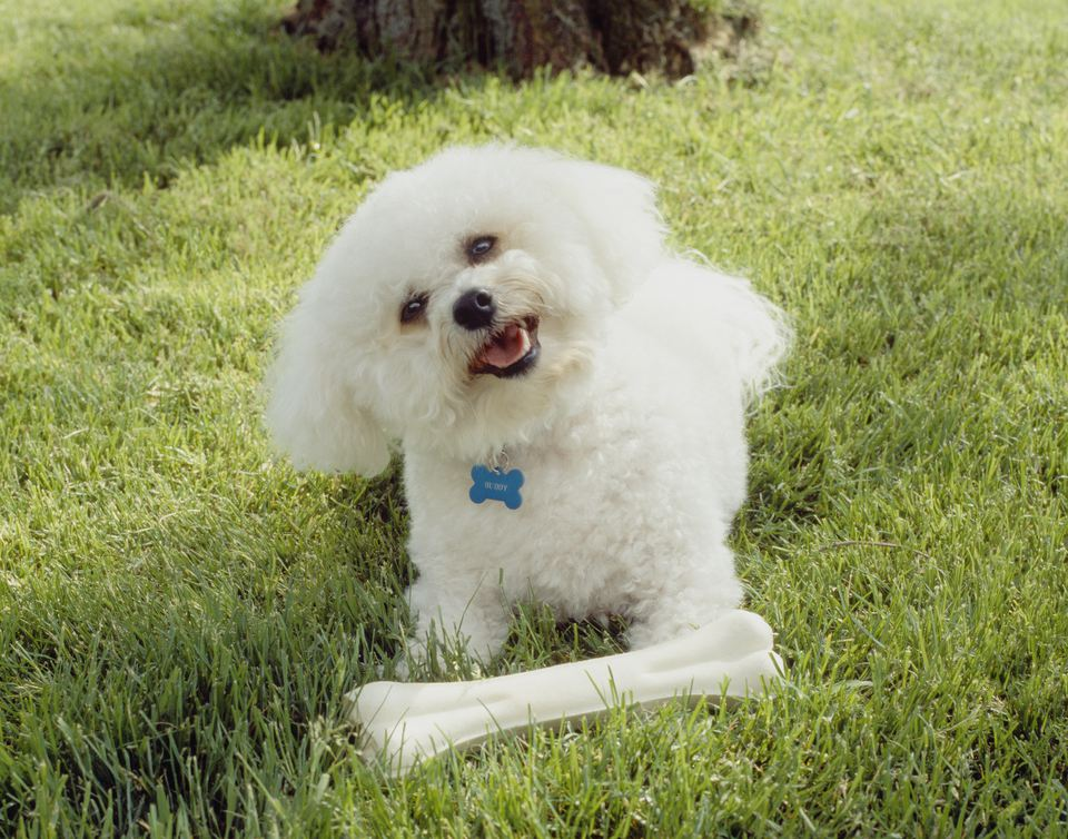 how to train a naughty bichon frise