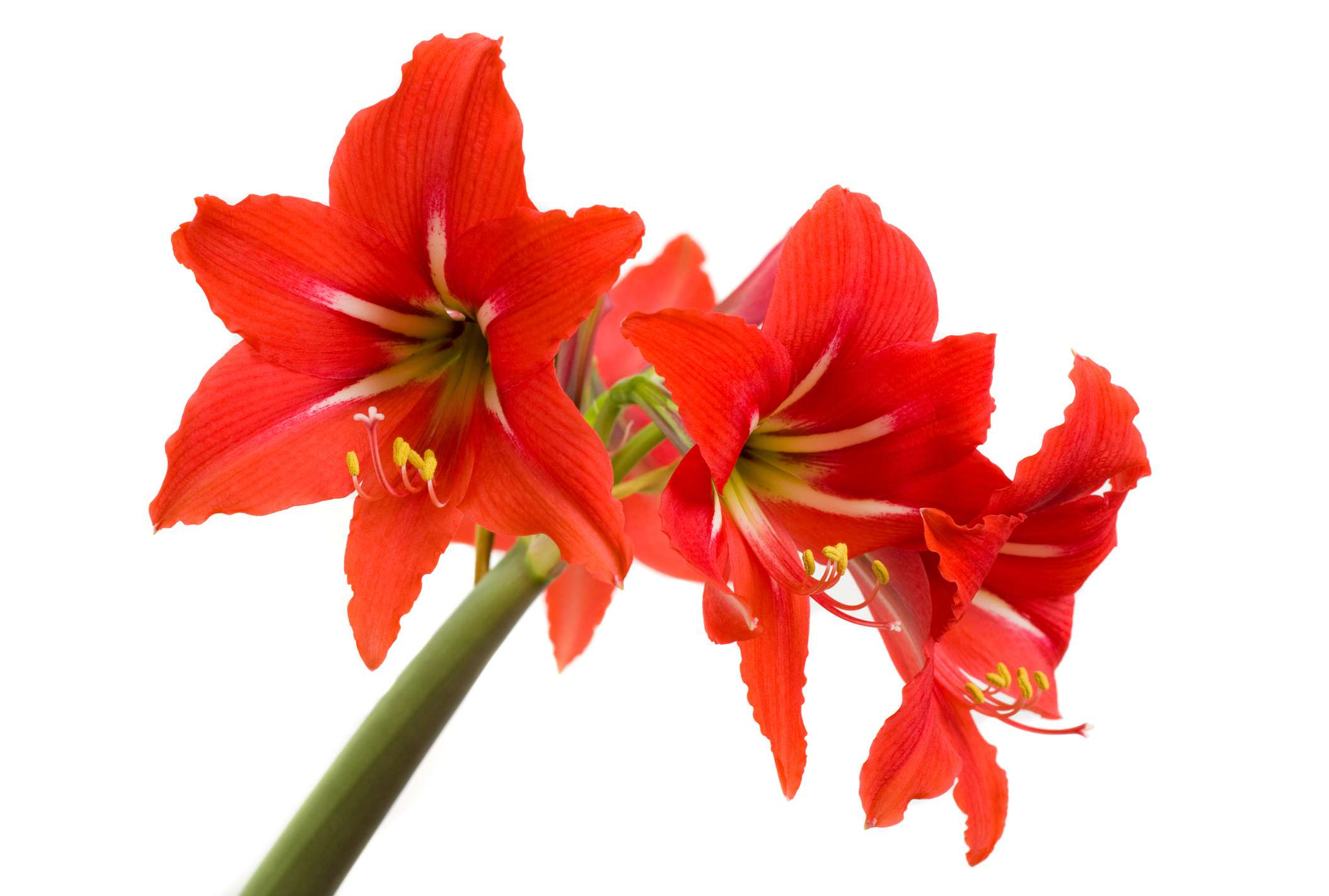 amaryllis dangerous to dogs