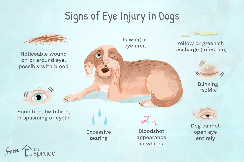 signos de lesión ocular en perros ilustración