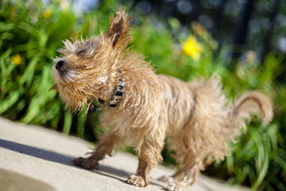 Natural Remedies For Ear Mites In Puppies