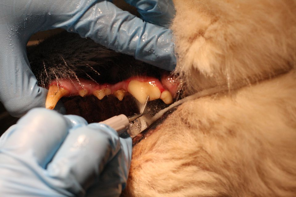 Dog at veterinary dental cleaning