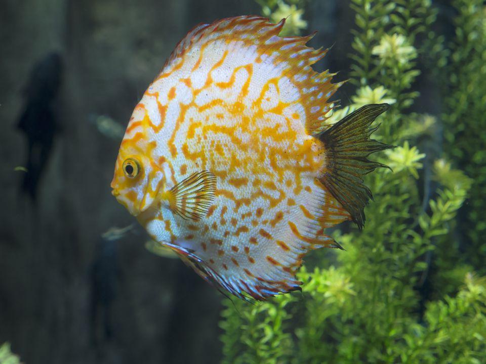 Discus fish, Symphysodon