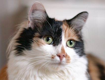 Closeup of a calico cat