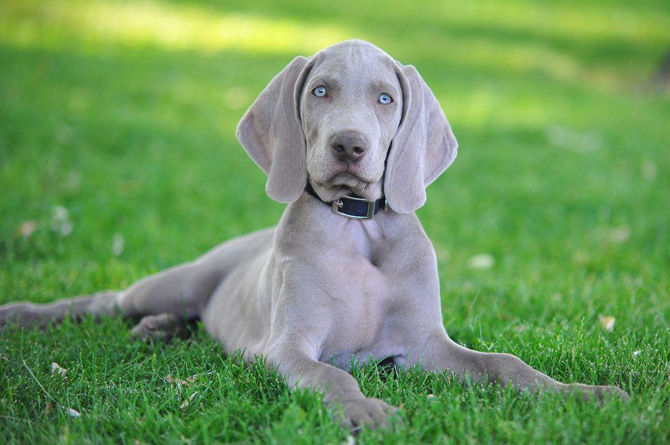 Weimaraner puppy lying in the grass