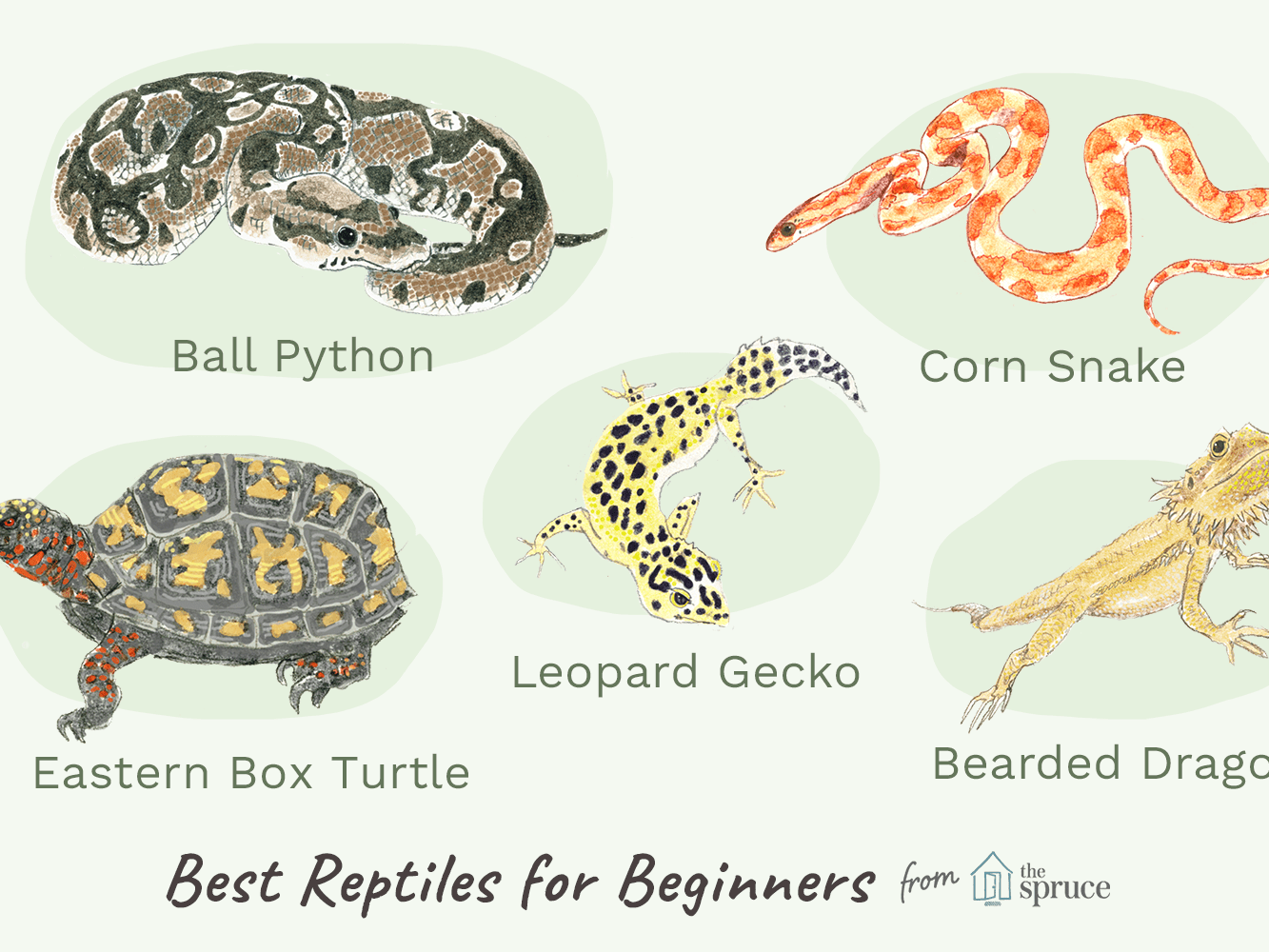 An Overview Of Pet Reptiles For Beginners