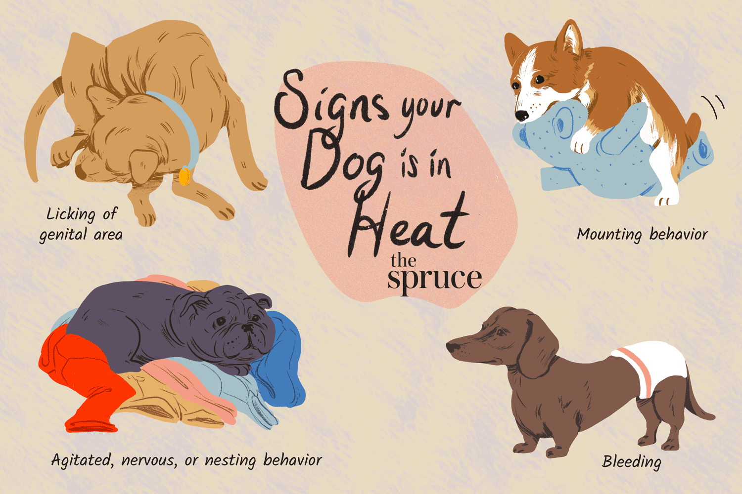 Illustration depicting the signs a dog is in heat: nesting behavior, genital licking, mounting behavior and bleeding
