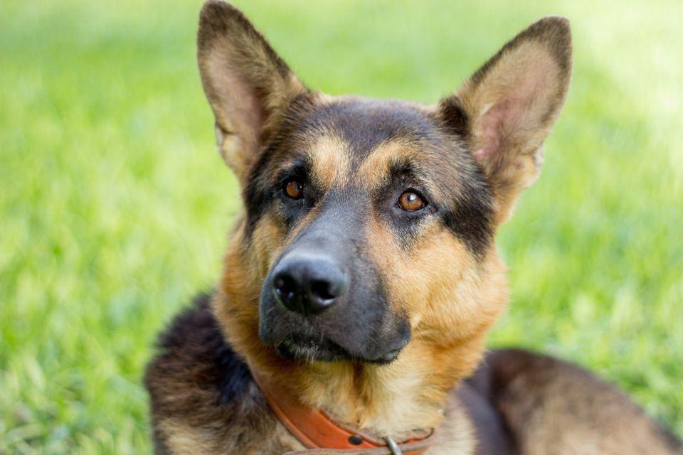 Retrato de perro pastor alemán sobre hierba
