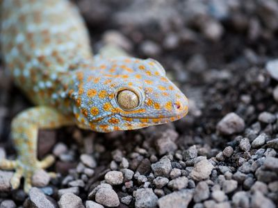 Caring For Pet Common House Geckos