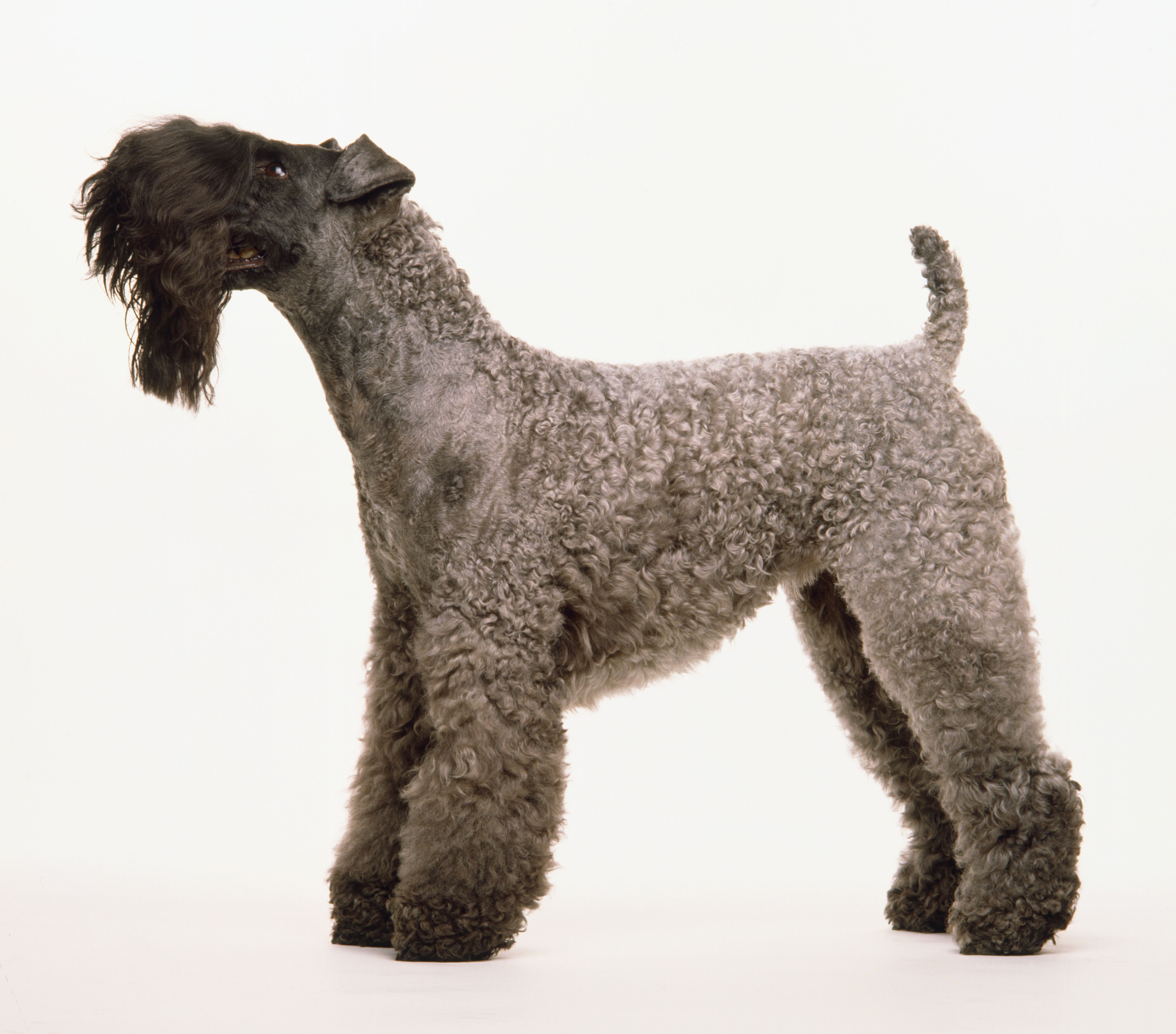 18 Dog Breeds That Dont Shed