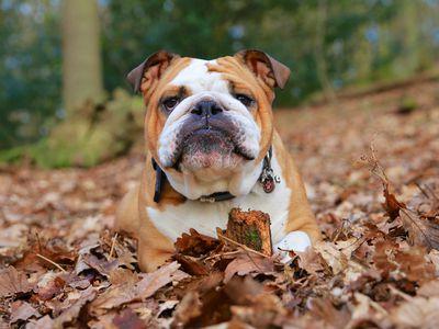 American Bulldog - Full Profile, History, and Care