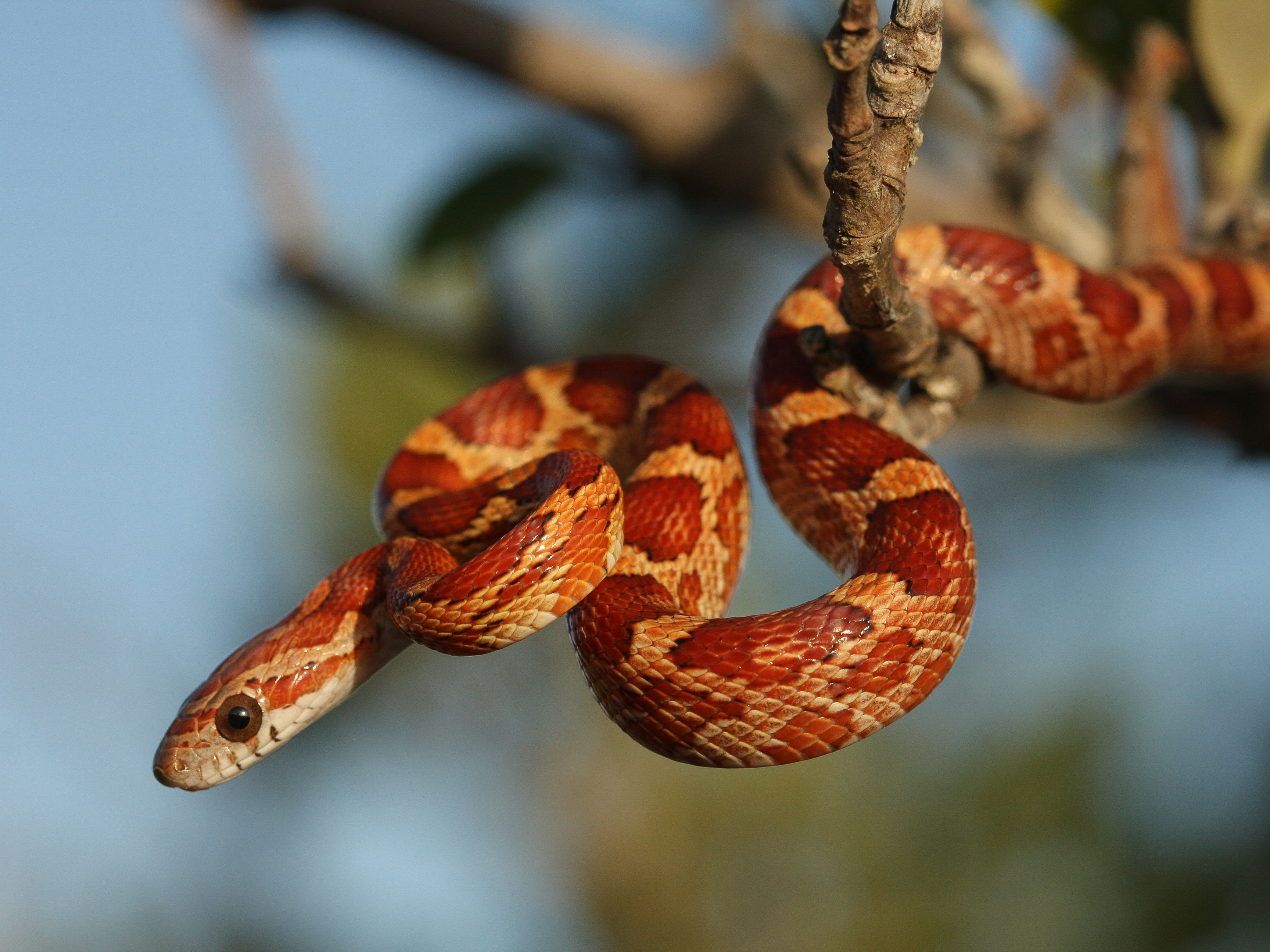 A Guide To Caring For Pet Corn Snakes