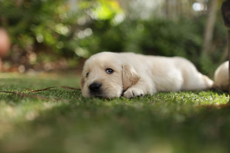 Puppy playing on lawn