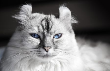 American Curl - Full Profile, History, and Care